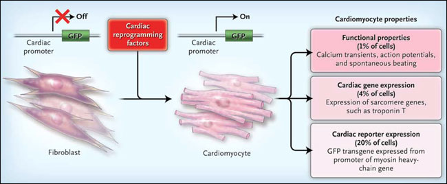 Cocina cardíaca: de fibroblastos a cardiomiocitos